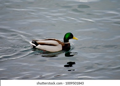 Mallard (European duck) swimming in the cold waters of Scandinavia with the beautiful reflection