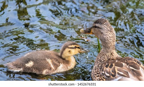 Mallard female paddling in water with one of her ducklings nestling up close to her