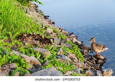 Mallard hen duck taking care of it's baby ducklings