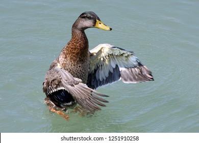 Mallard Hen flapping