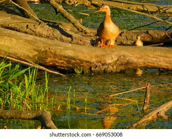 Mallard hen and her hatchlings enjoy the day's final rays of the sun