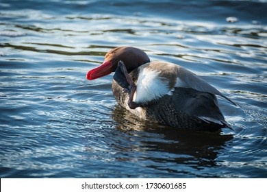 The mallard or mallard (lat. Anas platyrhynchos) is a duck family of the duck family (Anatidae). The mallard is the most common and widespread species of mallard.