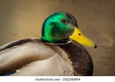 Mallard male duck colorful head close up  detail wallpaper background