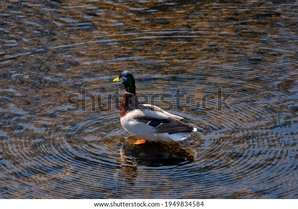 mallard-male-duck-standing-on-600w-19498