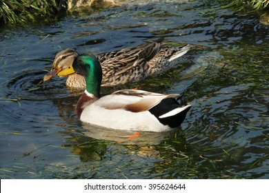 mallard marsh bird lake garda