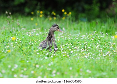 Mallard in the middle of the meadow