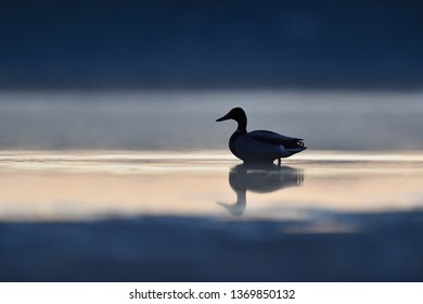 Mallard on the beach at night. Duck at night on the beach.