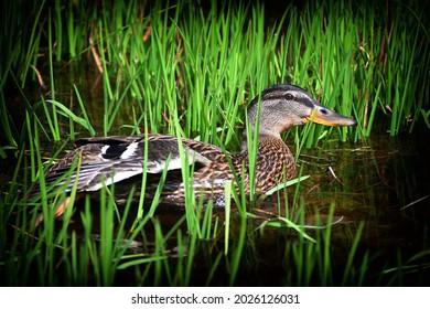a mallard peeps among the aquatic plants of a swamp