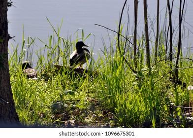 Mallard profile on edge of pond