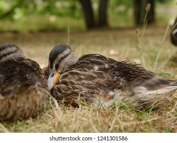 a Mallard protects their young children