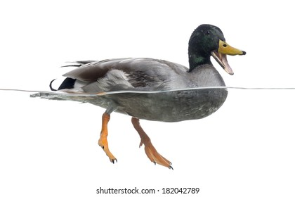 Mallard quacking, floating on the water, Anas platyrhynchos, isolated on white