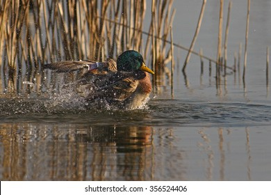 Mallard shaking off water in front of reeds
