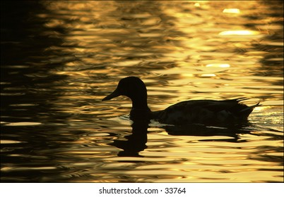 Mallard silhouette in golden light