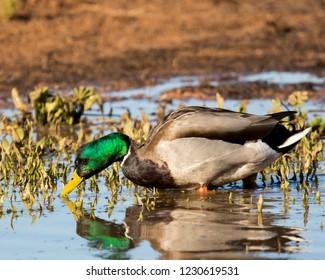 mallard sipping water from marsh