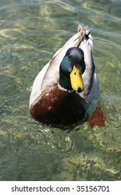 Mallard swimming in a lake
