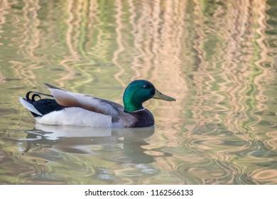 Mallard swimming at the lake of Texoma, Texas