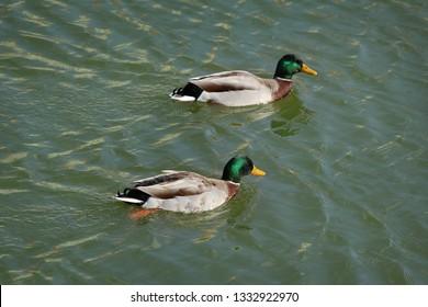 The mallard, two adult  male wild ducks swimming in river or lake water