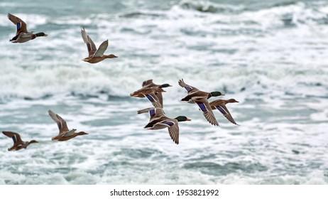 Mallard waterfowl birds flying over sea water. Seascape of hovering birds against background of blue foaming waves. Anas platyrhynchos, mallard duck.
