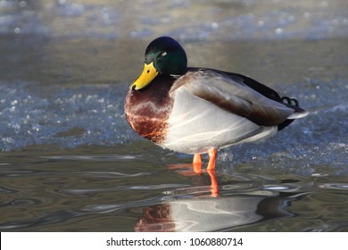 The mallard or wild duck (Anas platyrhynchos) is a dabbling duck which breeds throughout the temperate and subtropical Americas, Eurasia, and North Africa
