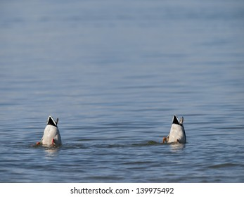 Mallards (Anas platyrhynchos) feeding in water / Stockenten beim Gr�¼ndeln im Wasser