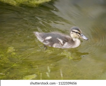 Mallards chicks in the water