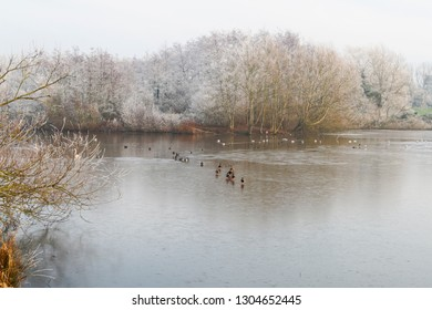 Mallards, Coots, seagulls and other birds on a partially frozen lake surrounded by frost covered trees