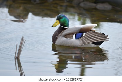 Mallards Drakes on water