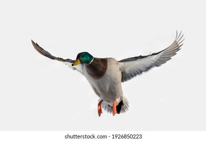 Mallards in flight in Canadian winter