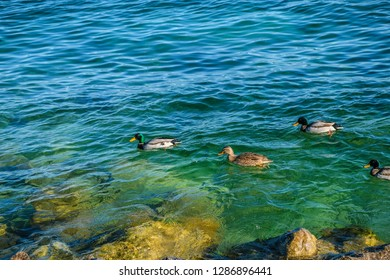 mallards in Lake Garda