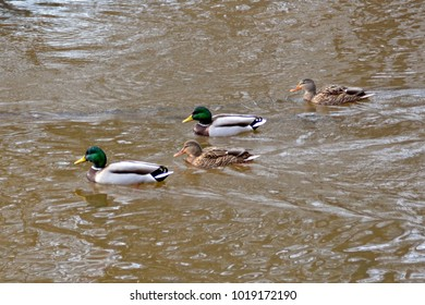 mallards swimming in a river