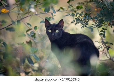 Mallorca 2019: beautiful black stray cat with ear notch in the forest surrounded by plants looking at camera in Cala Gat, Majorca