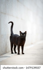 Mallorca 2019: beautiful black stray cat with ear notch standing on sidewalk in front of concrete wall looking at camera curiously in the city center of Port de Sóller, Majorca