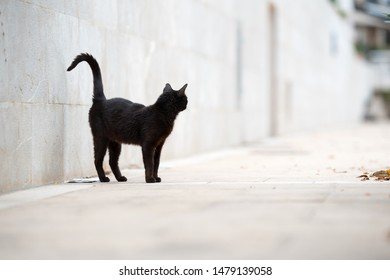 Mallorca 2019: beautiful black stray cat with ear notch standing on sidewalk in front of a wall looking away observing the area in Port de Sóller, Majorca