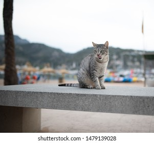 Mallorca 2019: beautiful silver tabby stray cat with ear notch sitting on concrete bench in front of beach sticking out tongue at Port de Sóller, Majorca
