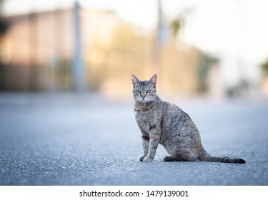 Mallorca 2019: beautiful tabby stray cat with ear notch sitting on street looking at camera on a sunny summer evening on majorca