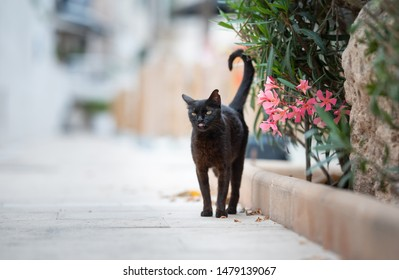 Mallorca 2019: black stray cat with ear notch standing on sidewalk next to some flowers sticking out tongue in Port de Sóller, Majorca