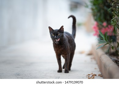 Mallorca 2019: black stray cat with ear notch standing on sidewalk next to some flowers sticking out tongue in Port de Sóller, Majorca licking over lips