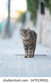 Mallorca 2019: disheveled tabby stray cat with ear notch standing on sidewalk in Santa Ponça, Majorca looking at camera curiously