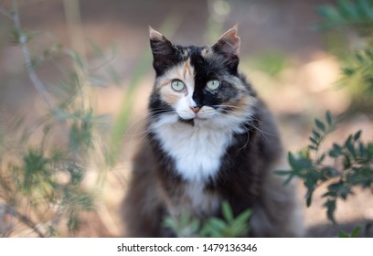 Mallorca 2019: Portrait of a beautiful Tortoiseshell Stray cat with ear notch in the forest of Cala Gat, Majorca looking at camera