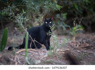 Mallorca 2019: shy black stray cat with ear notch sitting in the forest of Cala Gat, Majorca lokking at camera curiously