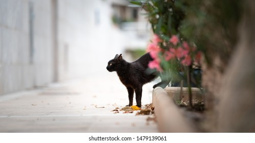 Mallorca 2019: side view of a black stray cat with ear notch on the sidewalk next to a flower bed in the city center of Port de Sóller, Majorca