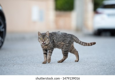 Mallorca 2019: side view of a disheveled tabby stray cat with ear notch walking crossing street in Santa Ponça, Majorca looking at camera meowing