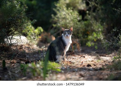 Mallorca 2019: tabby white stray cat with ear notch sitting in the forest of Cala Gat, Majorca looking at camera curiously