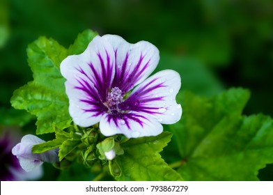 Mallow flower, forest mallow, in Latin Malva sylvestris