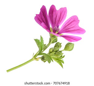 Mallow flower with leaves and buds isolated on white