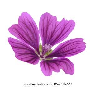 Mallow flower  (Malva Sylvestris) isolated on white background