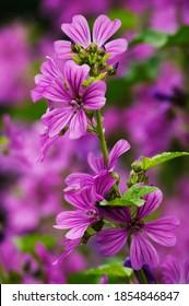 Mallow flowers with beautiful purple flowers - Shutterstock ID 1854846847
