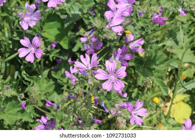 Mallow flowers, medical plant - Shutterstock ID 1092731033