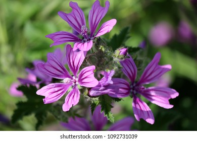 Mallow flowers, medical plant - Shutterstock ID 1092731039