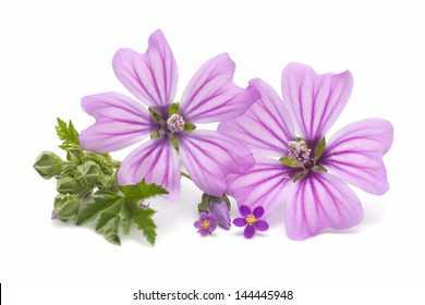 mallow flowers on white background